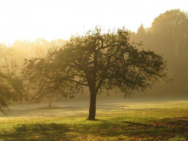 orchard-apple-tree-tree-meadow-morgenstimmung-haze